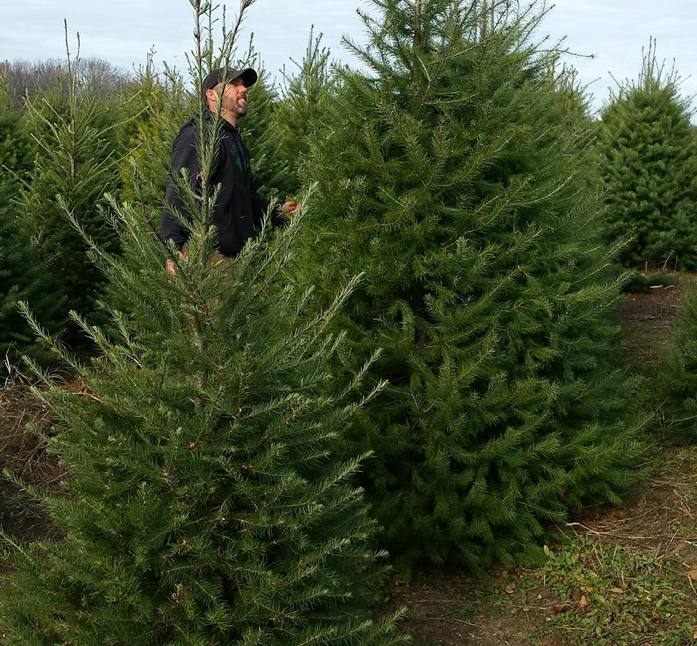 christmas tree shortage to be felt slightly in michigan
